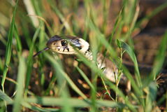 Grass snake with stick out tongue. The grass snake, sometimes called the ringed snake or water snake, is a European nonvenomous snake royalty free stock photography