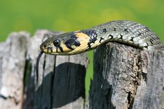 Grass-snake on stump Royalty Free Stock Photo