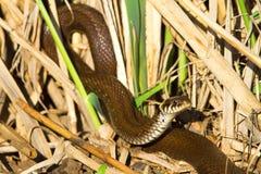 Grass snake in swamp environment  / Natrix Stock Image