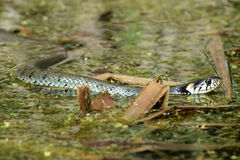 The grass snake. Is swimming in the bog Royalty Free Stock Photography