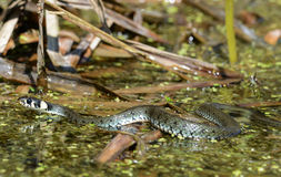 The grass snake. Is swimming in the bog Stock Images