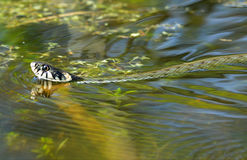 The grass snake. Is swimming in the bog Royalty Free Stock Image
