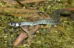 The grass snake. Is swimming in the bog Royalty Free Stock Images