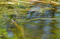 The grass snake. Is swimming in the bog Royalty Free Stock Photo