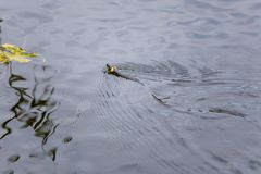 Grass snake swimming in lake in summer royalty free stock image