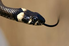 Grass-snake with tongue Royalty Free Stock Photos