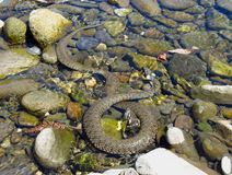 Grass snake in the water Royalty Free Stock Photography