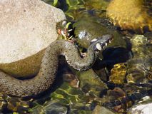 Grass snake in the water Stock Photos