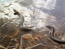 Grass snake in water, natrix Royalty Free Stock Photography