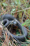 Grass snake in wild nature Royalty Free Stock Photos