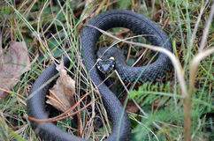 Grass snake in wild nature Stock Photography