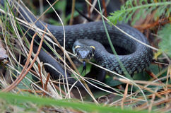 Grass snake in wild nature Royalty Free Stock Image