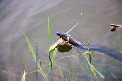 Grass snake in the wild Stock Photos
