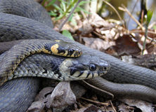 Grass snakes mating. Royalty Free Stock Photos