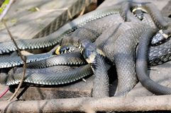 Grass snakes Natrix Natrix lies on a wooden boards. Grass snakes Natrix Natrix in Latin curtailed in a ball lies under sunshine on a wooden boards. Macro stock image