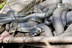 Grass snakes Natrix Natrix lies on a wooden boards. Grass snakes Natrix Natrix in Latin curtailed in a ball lies under sunshine on a wooden boards. Macro stock photo