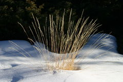 Grass in snow Royalty Free Stock Photo