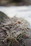 Grass in Snow. Decorative part of grass in wintertime Royalty Free Stock Photography