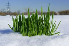 Grass on snow Royalty Free Stock Photography