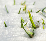 Grass in snow Royalty Free Stock Images