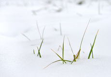 Grass in the snow Stock Images