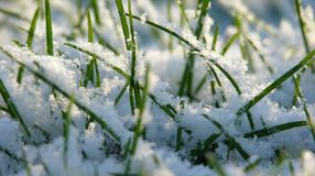 Grass in snow Royalty Free Stock Image