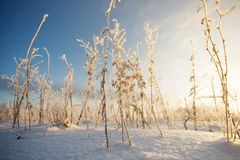 The grass on the snow background . stems of the grass in snow. Russia Stock Photos