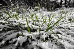 Grass in the snow Stock Photos