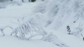 Grass in the snow cold winter snowing beautiful nature. Grass  in the snow cold winter snowing beautiful nature stock video footage