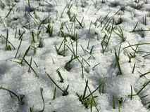 Grass in Snow on a Lawn in the Sun. Stock Photo