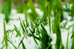 Grass in the snow. Spring. the grass grows under the snow. on the grass dew drops Stock Photography
