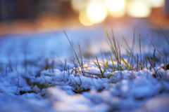 Grass through snow winter macrophoto sun shines evening light Stock Photography