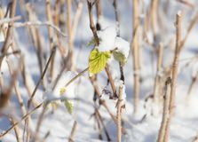 Grass in the snow in the winter in nature.  Royalty Free Stock Photos