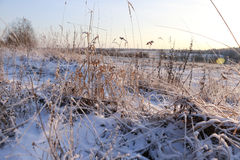 Grass in the snow and winter. Sunrise Stock Photography