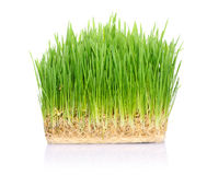 Grass in soil Royalty Free Stock Images