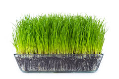 Grass with soil Stock Photography