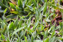 Grass spades covered with morning dew stock photography