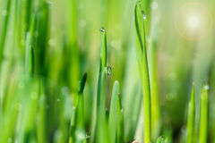 Grass with sparkling dewdrops Stock Image