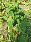 A grass species stock photo