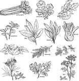 Grass and spice - vector linear drawing Royalty Free Stock Photo