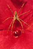 Grass Spider on Red Flower. A Grass Spider sitting in a web over a red Impatiens flower Royalty Free Stock Image