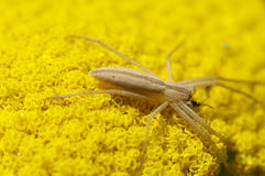 Grass spider. On a yellow flower Royalty Free Stock Photography