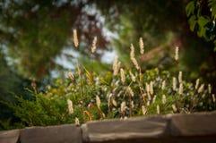 Grass spikelet blur green background. Light golden grass spikelet of full summer Stock Images
