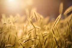 Grass spikelet on the field Stock Image