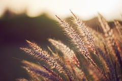 Grass spikelet on the field at sunset, close-up. Beautiful Royalty Free Stock Photo