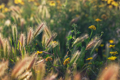 Grass spikelet on the field at sunset, close-up Royalty Free Stock Photos