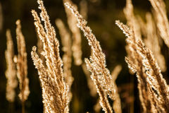 Grass spikelet on the field at sunset Royalty Free Stock Images