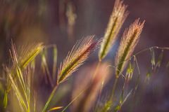 Grass spikelet on the field at sunset. Close-up selective focus Royalty Free Stock Photos