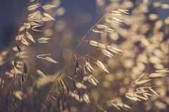 Grass spikelet on the field at sunset Stock Image