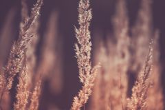 Grass, Spikelets, Brown, Autumn, Sun, Abstraction royalty free stock image